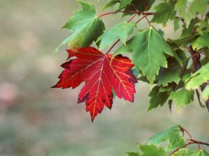 red-maple-leaf2