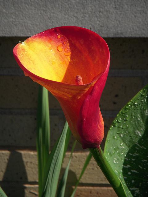 dew cala lily