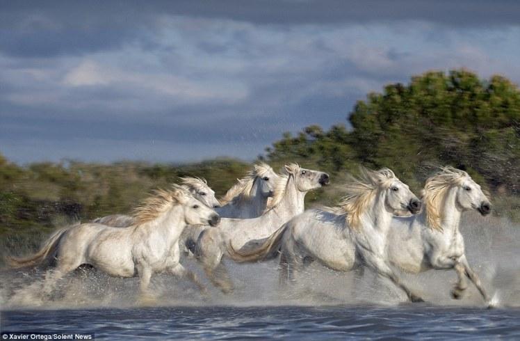 running white horses