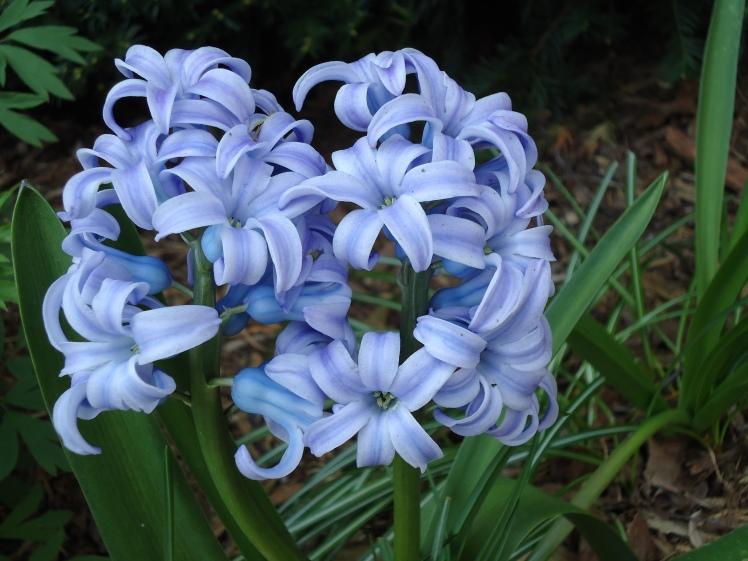 hyacinth12