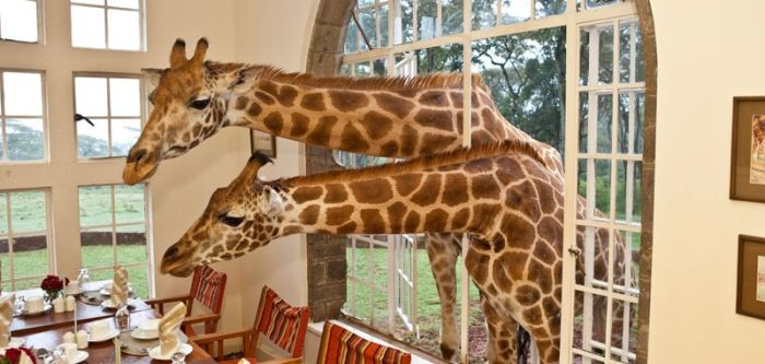 giraffe-dinner-guests