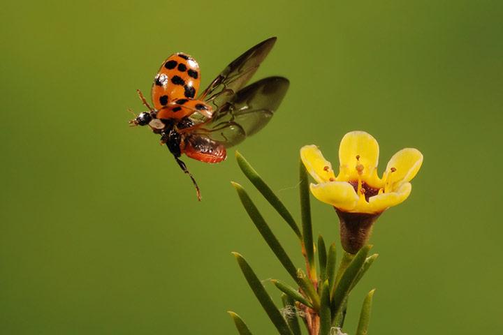 ladybug-flying-hd-wall-1080p