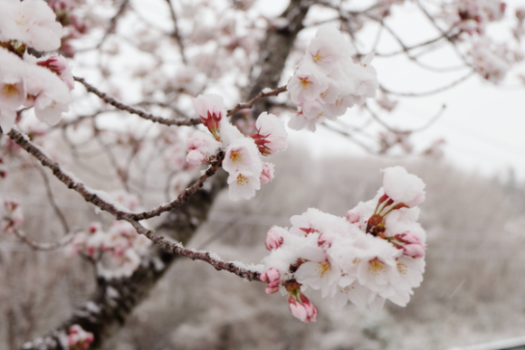 snow blooming tree
