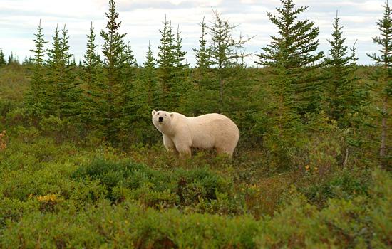 canada-polar-bears